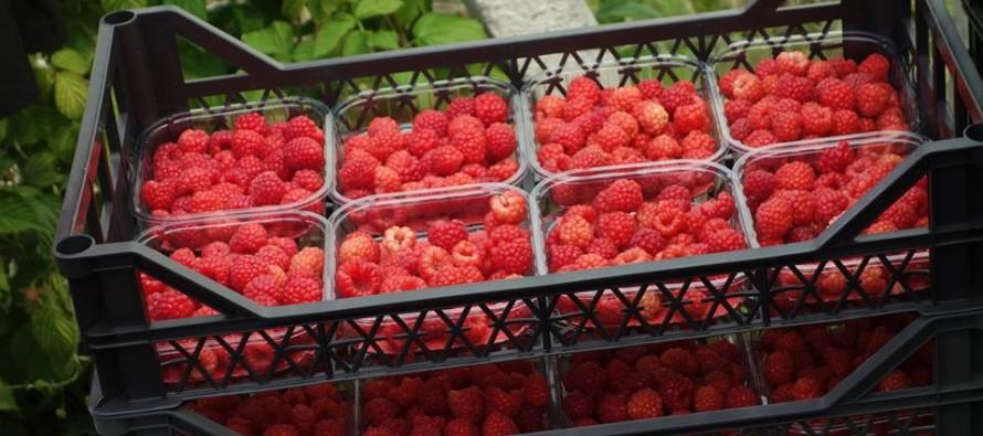Dutch-Albanian joint venture starts raspberry farm