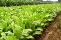 Domestically produced tobacco increases to 3,000 tonnes