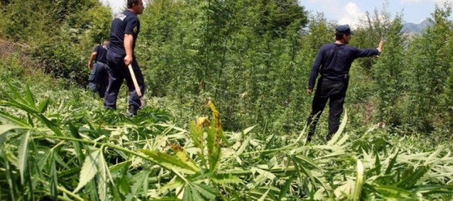 Albania is main source of cannabis trafficked to EU, says Europol