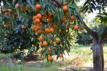 Eurostat: Albania is one of Europe's top citrus, medicinal plant producers