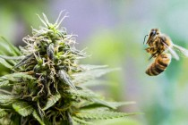 Rising cannabis cultivation blamed for massive bee losses