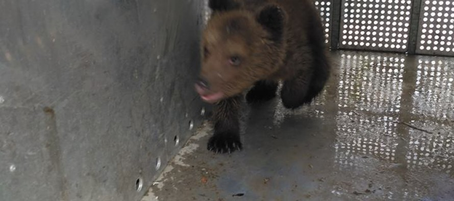 Three-month-old bear cub rescued after advertised for €1,100 sale
