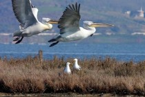 Proposed billion dollar mass tourism resort threatens national park, Dalmatian pelican, environmentalists warn