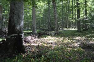 Rrajca forest. Photo: Fatmir Brazhda