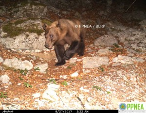 Brown bear in northeastern Albania. Picture: PPNEA