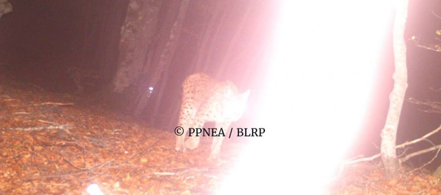 Camera traps reveal presence of rare Balkan Lynx in Albanian Alps