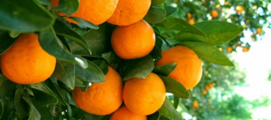 Xarra mandarin cooperative, a success story in Albania's undeveloped agriculture