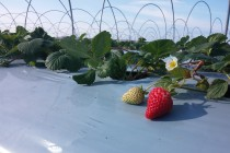 Season's first strawberries tap local markets