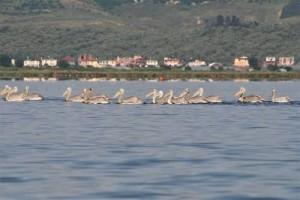 Young Dalmatian Pelicans in the Narta-Lagoon © Taulant Bino