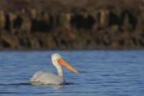 Curly Pelican, the Karavasta Lagoon's landmark bird