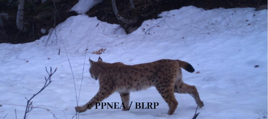 Environmentalists want Albania's sole Balkan lynx sanctuary a protected area