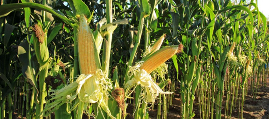 Cut in prices downgrades higher maize production
