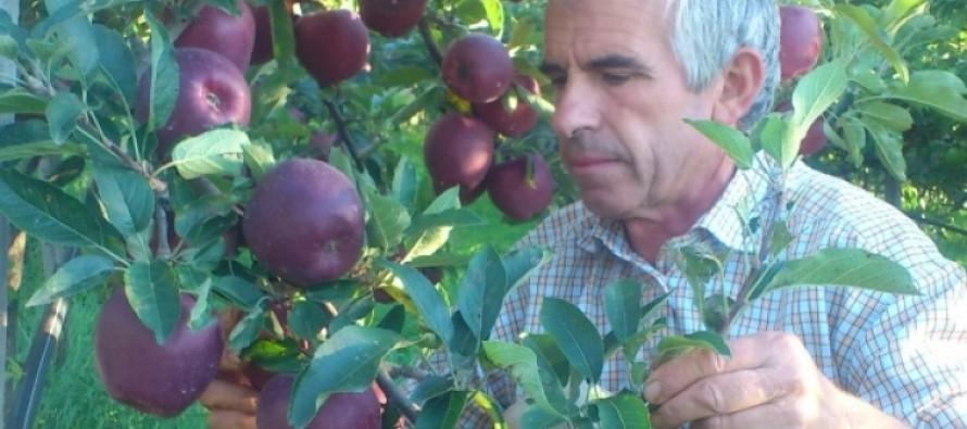 Albanian apple growers face below-cost prices