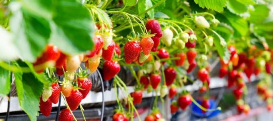 Strawberry production expansion also brings issues