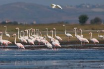 Flamingos remain in Albania