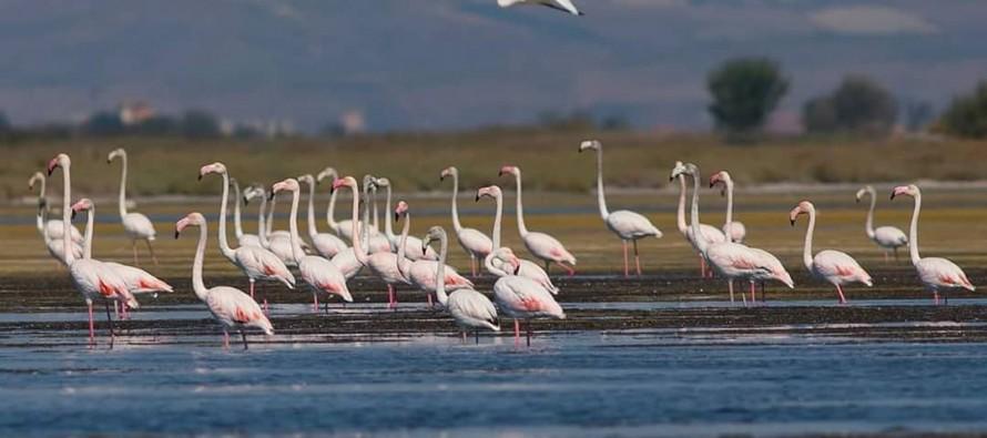 Flamingos remain in Albania