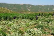 Secret police reports hint cannabis cultivation 'transferred' from Lazarat to Tepelena