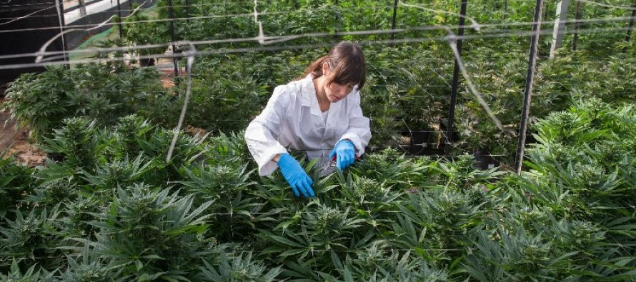 Albanian gov't working to legalize cultivation of medical cannabis